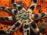 Sand Star on Orange Sponge, Leigh, New Zealand Photographic Print by Jenny & Tony Enderby
