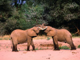 Young Elephants (Loxodonta Africana) Bulls Greeting, Samburu National Reserve, Rift Valley, Kenya Photographic Print by Mitch Reardon