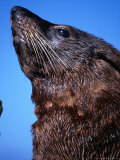 Portrait of a Fur Seal, Kaikoura, New Zealand Photographic Print by Jenny & Tony Enderby