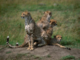 Mother Cheetah (Acinonyx Jubatus) with Cubs, Masai Mara National Reserve, Rift Valley, Kenya Photographic Print by Mitch Reardon