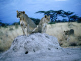 Pair of Female Lions (Panthera Leo) Sitting on Termite Hill, Eastern, Kenya Photographic Print by Mitch Reardon