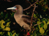 Red-Footed Booby on Tower Island (Genovesa), Ecuador Photographic Print by Tom Cockrem