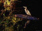 Cormorant (Phalacrocorax Carbo), Ireland Photographie par Gareth McCormack