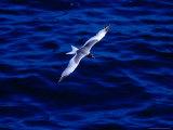 Swallow-Tailed Gull in Flight, South Plaza Island, Islas Plazas, Galapagos, Ecuador, Papier Photo par Richard I'Anson