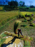 Threshing Rice in Kathmandu Valley, Kathmandu, Nepal Photographic Print by Richard I'Anson