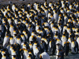 Colony of the King Penguin in St. Andrew's Bay, the Largest Penguin Colony in the World, Antarctica Photographic Print by Grant Dixon