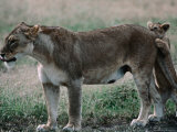 Lioness (Panthera Leo) with Cub on the Ndutu Plains, Ngorongoro Conservation Area, Tanzania Photographic Print by Dennis Jones