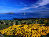 Flowering Gorse, Evergreen Shrub, with a Distant Antartic Cruise Ship Off-Shore, Falkland Islands Photographic Print by Grant Dixon