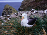 Nesting Black-Browed Albatross (Diomedea Melanophris), Westpoint Island, Falkland Islands Photographic Print by Grant Dixon