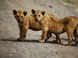 Lion Cubs in Ngorongoro Crater, Looking at Camera, Ngorongoro Conservation Area, Tanzania Photographic Print by David Wall