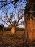 Boab Trees (Adansonia Gegorii), Australia Photographic Print by Diana Mayfield