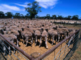 Sheep Ready to Be Sold, Central Victoria, Victoria, Australia Photographic Print by Phil Weymouth