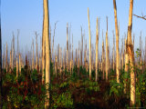 Hurricane Damage to Forest, Everglades National Park, USA Photographic Print by David Tipling