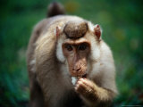 Baboon Eating, Malaysia Photographic Print by Jean-Bernard Carillet