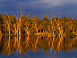 Dead Gum Trees in Shallows, and Healthy Ones on Banks, of Murray River, Victoria, Australia Photographic Print by John Hay
