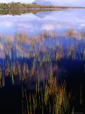 Reeds Growing in Melaleuca Lagoon Near Mt. Rugby, South West National Park, Tasmania, Australia Photographic Print by Grant Dixon