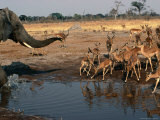 Elephant Chasing off Impala from Watering Hole, Savuti, Chobe National Park, Botswana Photographic Print by Dennis Jones