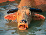 Pink Water Buffalo in Water, Vang Vieng, Vientiane, Laos Stampa fotografica di Anders Blomqvist
