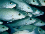 School of Grey Snapper (Lutjanus Griseus), Soufriere Bay, Scott&#39;s Head, Dominica Photographic Print by Michael Lawrence
