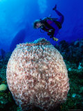 Diving to Inspect a Giant Sponge, Bloody Bay Wall, West End Point, Cayman Islands Photographic Print by Michael Lawrence