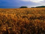 Wheatfield, Pembrokeshire Coast National Park, Pembrokeshire, Wales Photographic Print by Grant Dixon