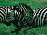 Zebras (Equus Zebra) Sparring, Ngorongoro Crater, Ngorongoro Conservation Area, Tanzania Photographic Print by Dennis Jones