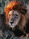 Portrait of Lion (Panthera Leo) in Sun, Xakanaxa, Moremi Wildlife Reserve, Botswana Photographie par Dennis Jones