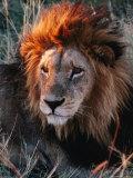 Portrait of Lion (Panthera Leo) in Sun, Xakanaxa, Moremi Wildlife Reserve, Botswana Fotografie-Druck von Dennis Jones