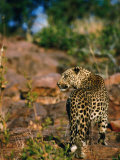 Leopard (Panthera Pardus) Walking Away, Okonjima, Namibia Photographie par Dennis Jones