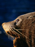 Fur Seal (Arctocephalus Forsteri) in Profile, New Zealand Photographic Print by David Wall