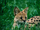 Serval (Felis Serval) in Chipengali Orphanage, Zimbabwe Photographic Print by David Wall