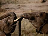 Elephants, Cecil Kop Nature Reserve, Zimbabwe Photographic Print by David Wall