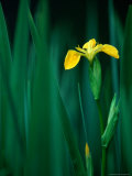 Yellow Iris or Yellow Flag (Iris Pseudochorus), United Kingdom Photographic Print by Nicholas Reuss