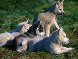 Litter of Sled Dog Puppies Near Cape York, Savissivik, Greenland Photographic Print by Nicholas Reuss