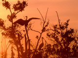 Grey Herons in Tree at Dawn, United Kingdom Photographic Print by David Tipling