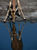 Impala (Aepyceros Melampus) Drinking Water, Savuti, Botswana Photographic Print by Dennis Jones