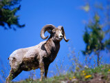 Bighorn Sheep on Hill, Banff, Canada Photographic Print by Woods Wheatcroft