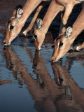 Impala&#39;s (Aepyceros Melampus) Drinking, Savuti, Botswana Photographic Print by Dennis Jones