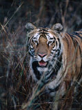 Tiger Stalking Through Long Grass, Bandhavgarh National Park, India Photographie par Dennis Jones