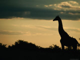 Giraffe (Giraffa Camelopardalis) at Sunset, Savuti, Chobe National Park, Botswana Photographie par Dennis Jones