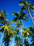 Cluster of Palm Trees, Great Courland Bay, Northwestern Coast, Grafton Beach, Trinidad & Tobago Photographic Print by Michael Lawrence