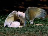 Playfight Between Little Corella Siblings, Kakadu National Park, Australia Photographic Print by Dennis Jones