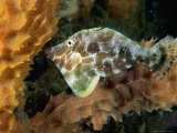 Slender Filefish, Castle Comfort House Reef, South of Rouseau, Castle Comfort, Dominica Photographic Print by Michael Lawrence