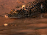 Juvenile Freshwater Crocodile, Kakadu National Park, Australia Photographic Print by Dennis Jones