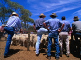 Buyers Watch Intently at Sheep Auction in Rural Victoria, Victoria, Australia Photographic Print by Phil Weymouth