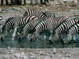 Zebras (Equus Burchellii) Drinking from Waterhole, Etosha National Park, Namibia Photographie par Dennis Jones