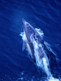 Dolphin Swimming in Whitewash on Bow of Boat, Australia Photographic Print by Dennis Jones