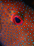 Close Up of Blue Spotted Grouper, St. Anne Sandy Point, St. Kitts & Nevis Fotografisk tryk af Mark Webster