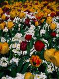 Tulips in St. James's Park, London, United Kingdom, England Fotoprint av Mark Daffey