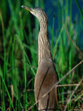 Pond Heron or Paddybird in Breeding Plumage Among Reeds, Kanha National Park, India Photographic Print by Dennis Jones